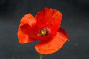 Best Artificial Poppies In the UK